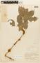 Zygia latifolia (L.) Fawc. & Rendle, BRAZIL, F
