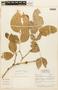 Zygia latifolia (L.) Fawc. & Rendle, BOLIVIA, F