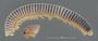 4065 Alluviobolus laticlavius HT IN P n60 hf13