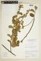 Waltheria ackermanniana Schum., BRAZIL, F