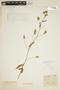 Waltheria albicans Turcz., BRITISH GUIANA [Guyana], F