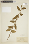 Waltheria americana L., BRITISH GUIANA [Guyana], F