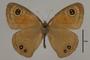 125386 Cassionympha cassius d IN