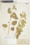 Waltheria indica L., BRITISH GUIANA [Guyana], F