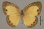 125399 Heteropsis eliasis d IN