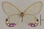 125423 Cithaerias andromeda esmeralda d IN
