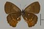 125435 Pedaliodes sp v IN