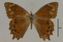 125437 Lasiophila zapatoza d IN
