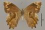 125437 Lasiophila zapatoza v IN