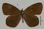 125451 Lymanopoda ferruginosa d IN