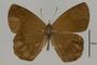 125452 Lymanopoda sp d IN