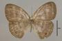 125495 Magneuptychia tricolor fulgora d IN