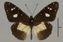 125506 Amauris albimaculata d IN