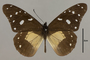 125507 Amauris albimaculata hanningtoni d IN