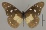 125507 Amauris albimaculata hanningtoni v IN