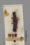 3047730 Stenus curtipennis ST d IN