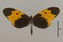 125573 Melinaea marsaeus mothone d IN