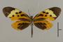 125575 Melinaea menophilus cocana d IN
