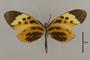 125575 Melinaea menophilus cocana v IN