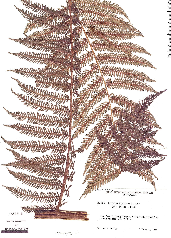 Specimen: Alsophila tryoniana