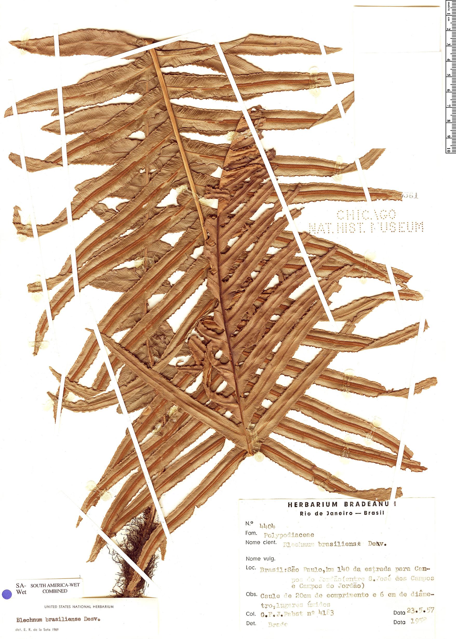Specimen: Blechnum brasiliense