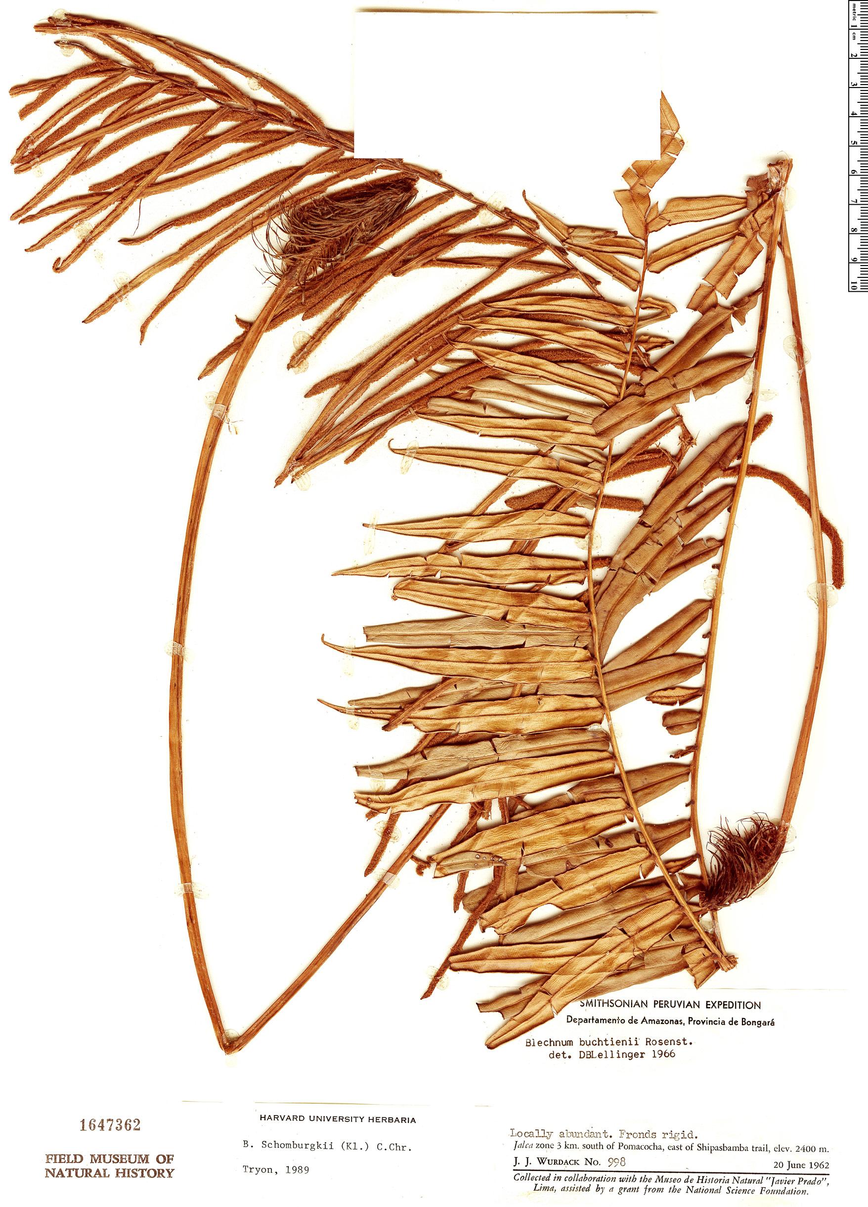 Specimen: Blechnum schomburgkii