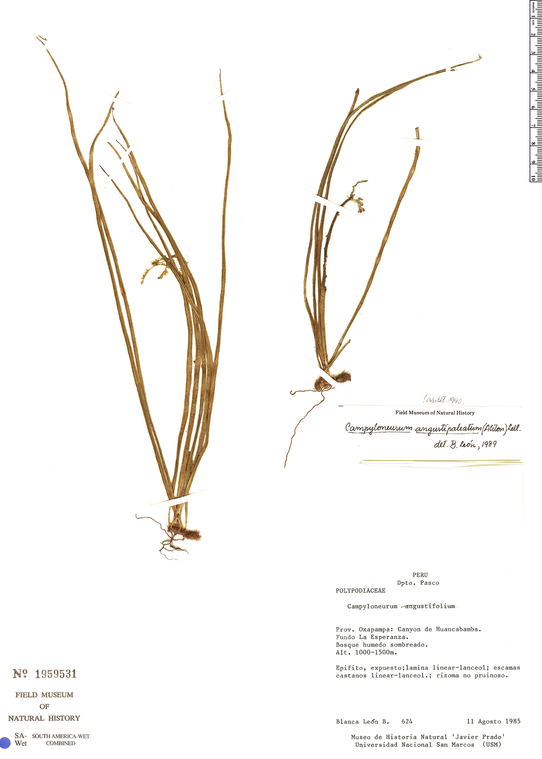 Specimen: Campyloneurum angustipaleatum