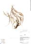 Ceradenia pilipes image