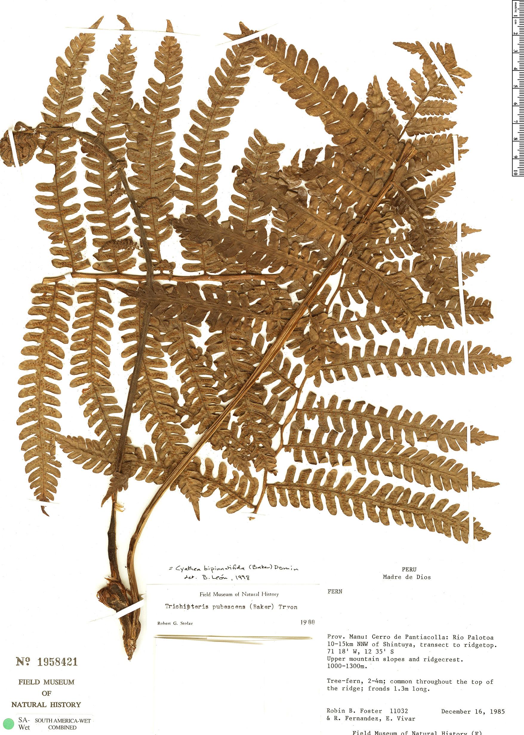 Specimen: Cyathea bipinnatifida