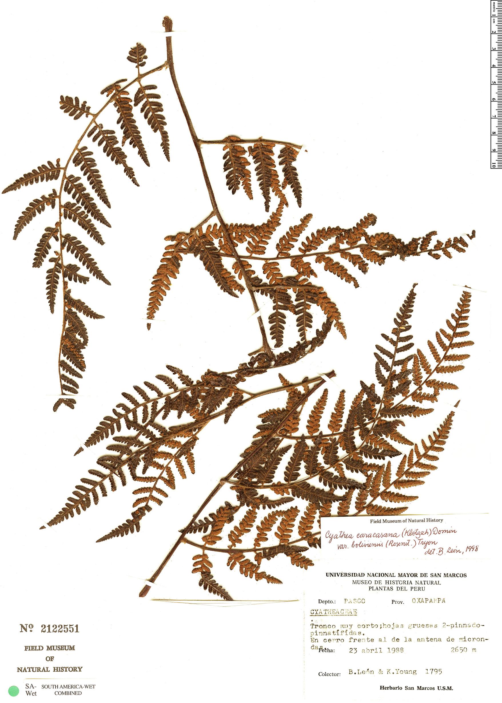 Specimen: Cyathea caracasana