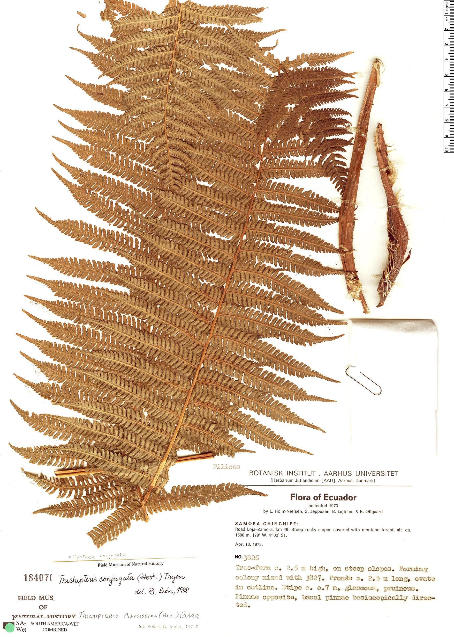 Espécimen: Cyathea conjugata