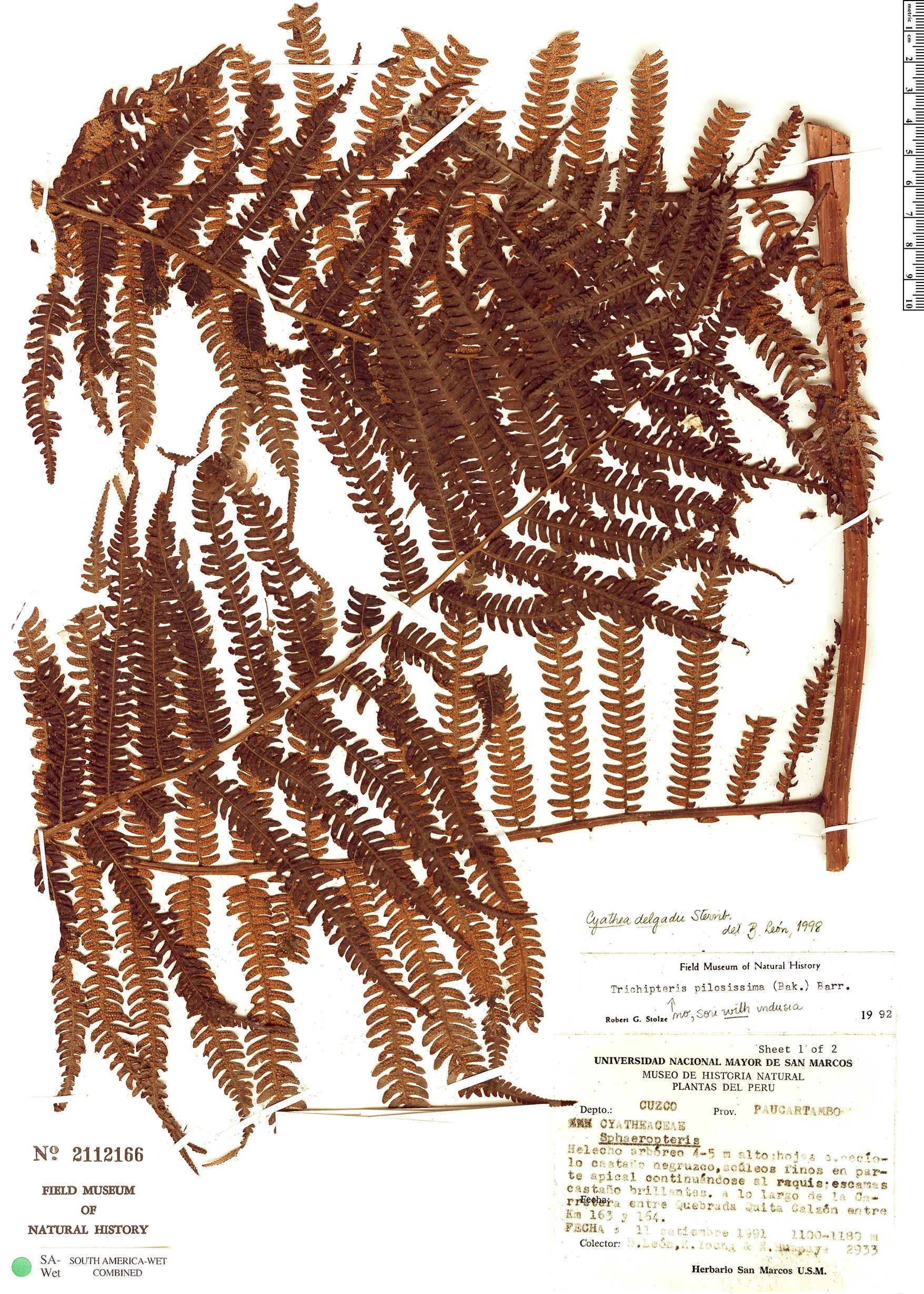 Specimen: Cyathea delgadii