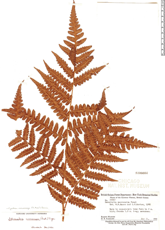 Specimen: Cyathea macrocarpa