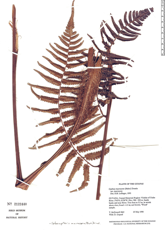 Specimen: Cyathea macrosora