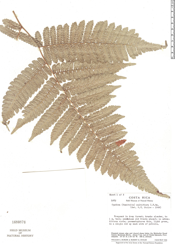 Espécime: Cyathea multiflora