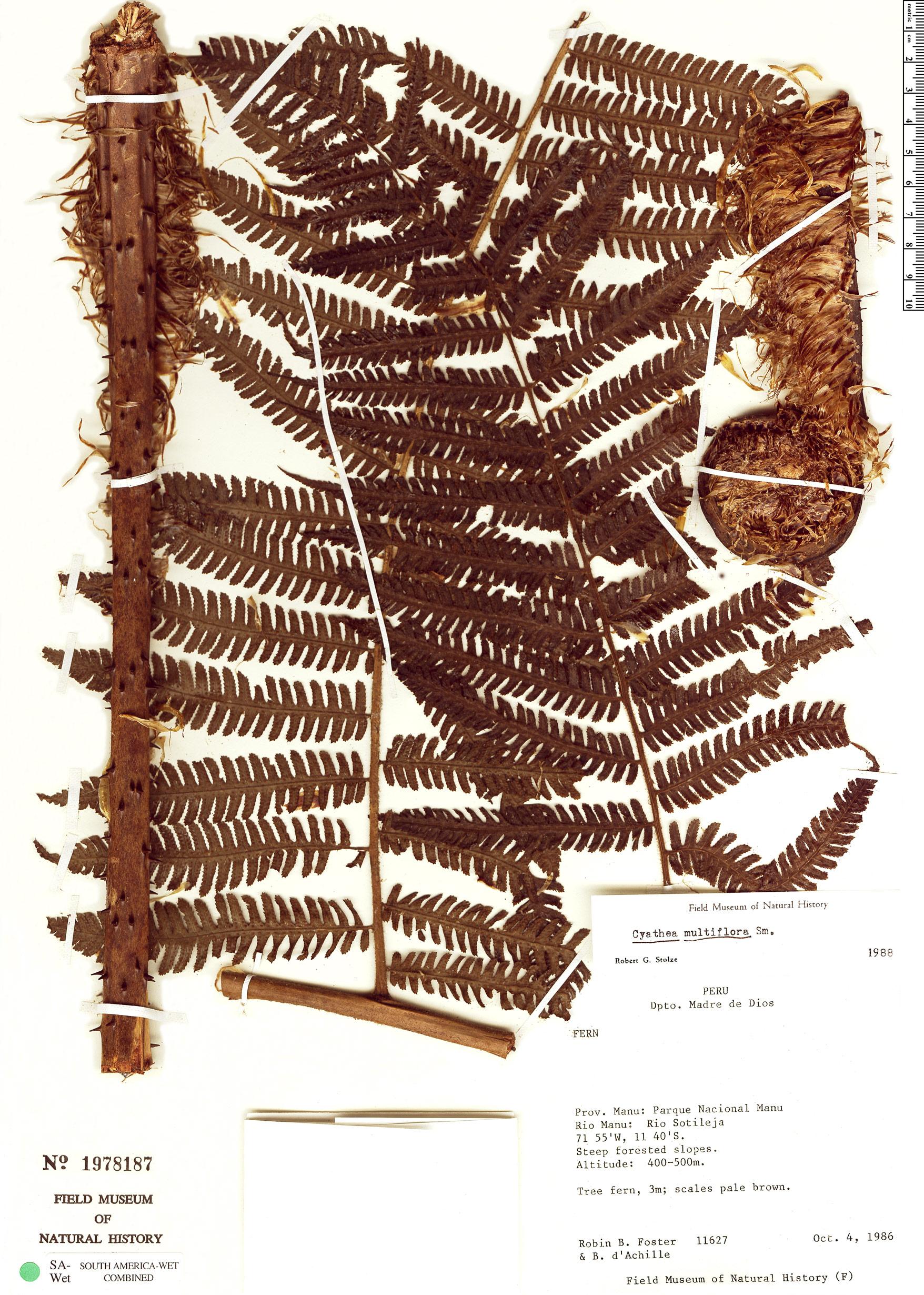Specimen: Cyathea lindigii