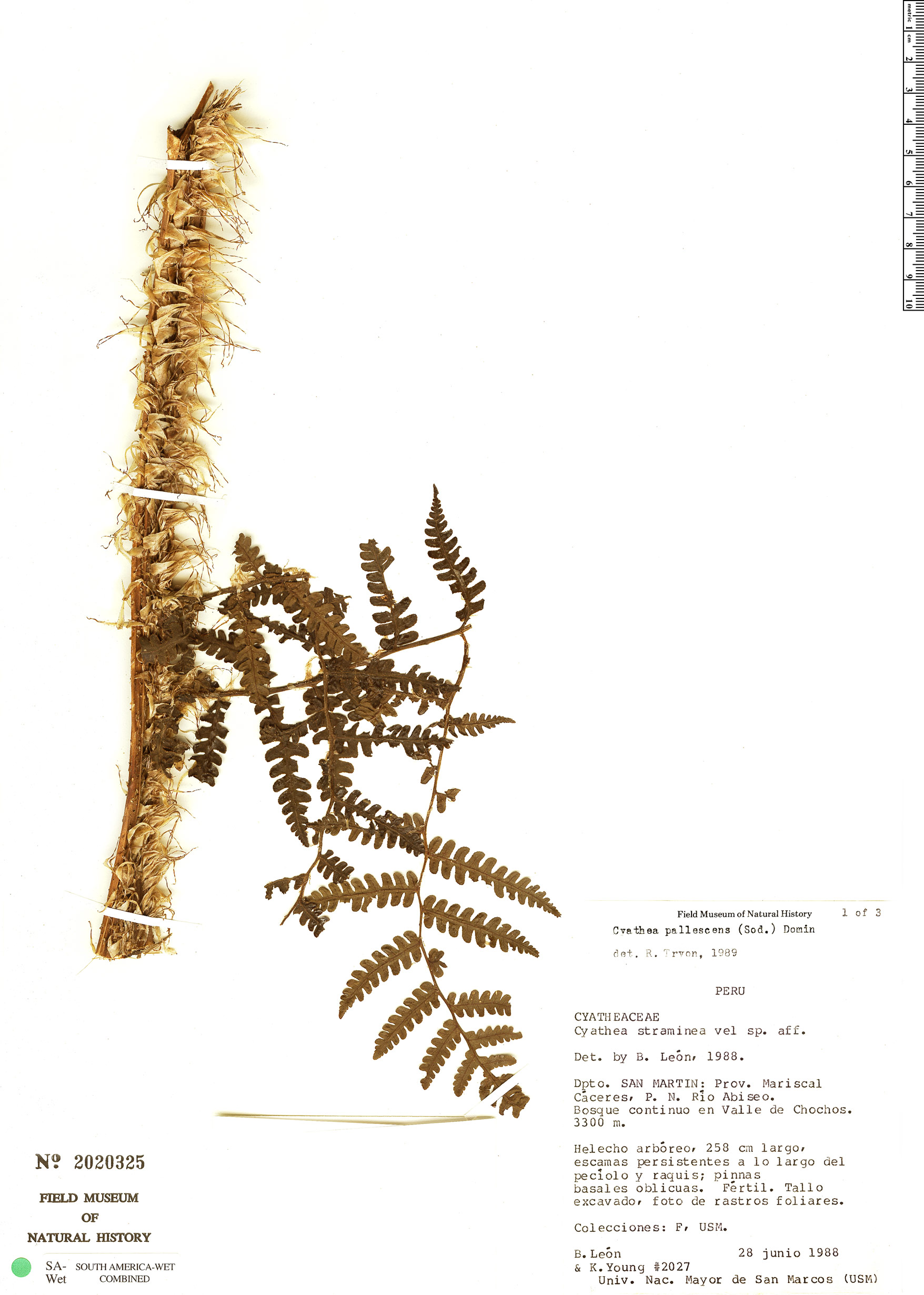 Specimen: Cyathea straminea