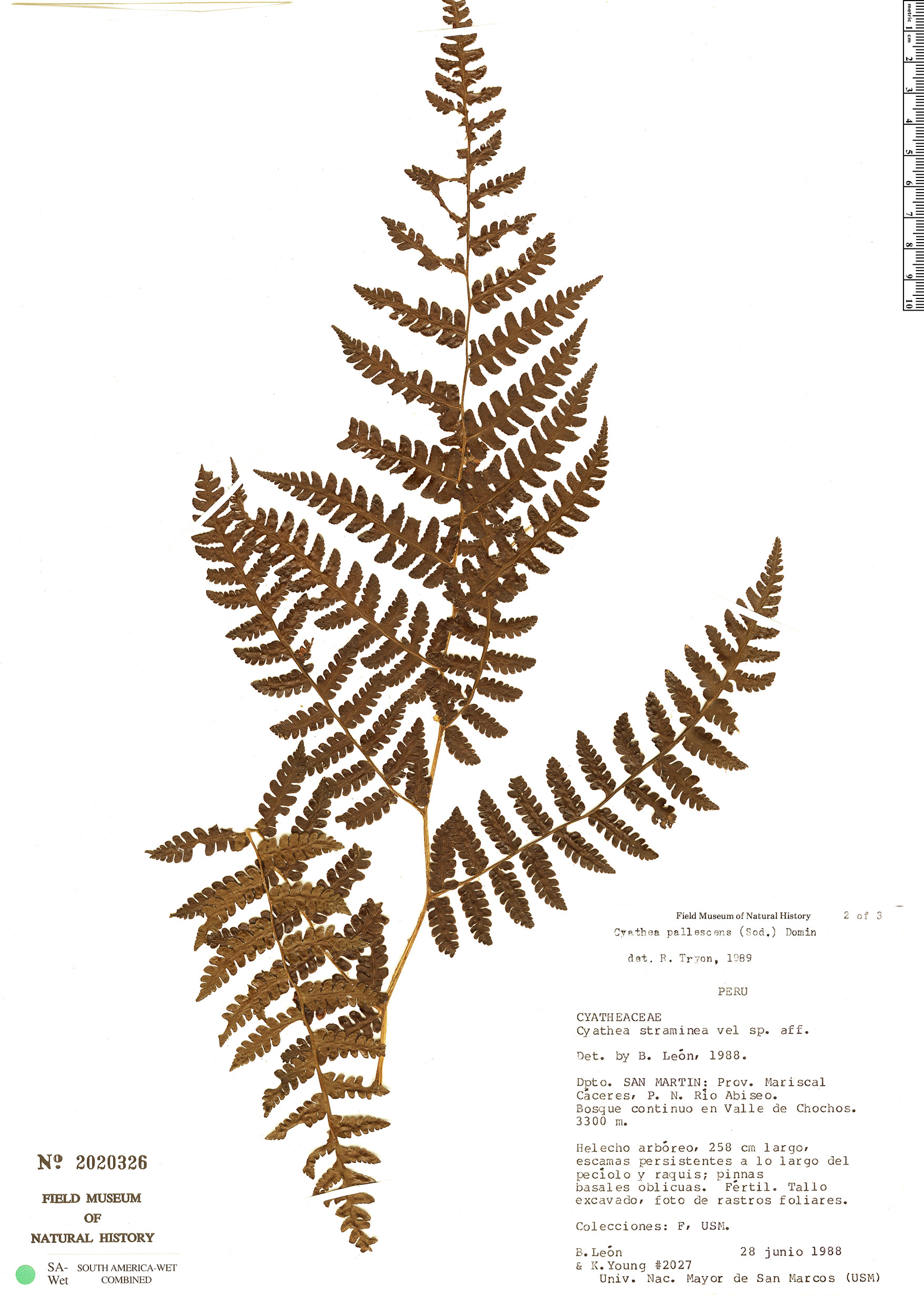 Espécime: Cyathea straminea