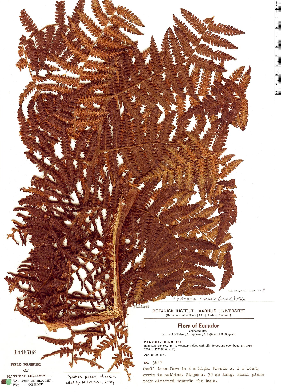 Specimen: Cyathea patens