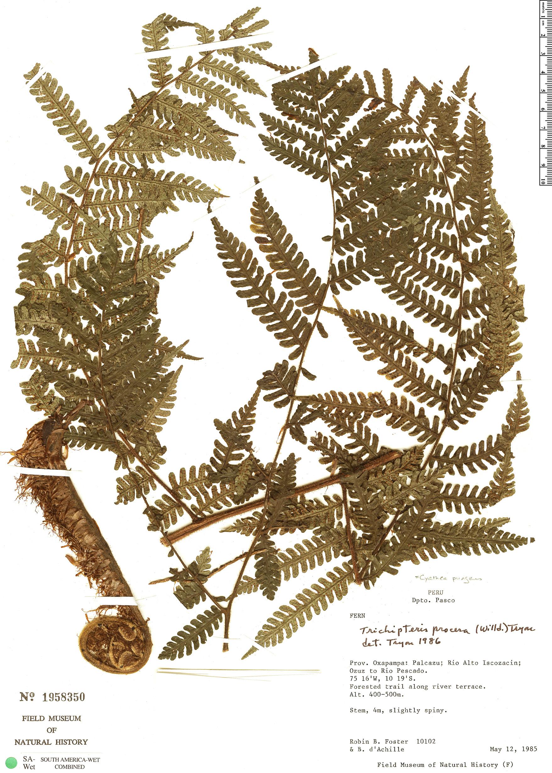 Specimen: Cyathea pungens