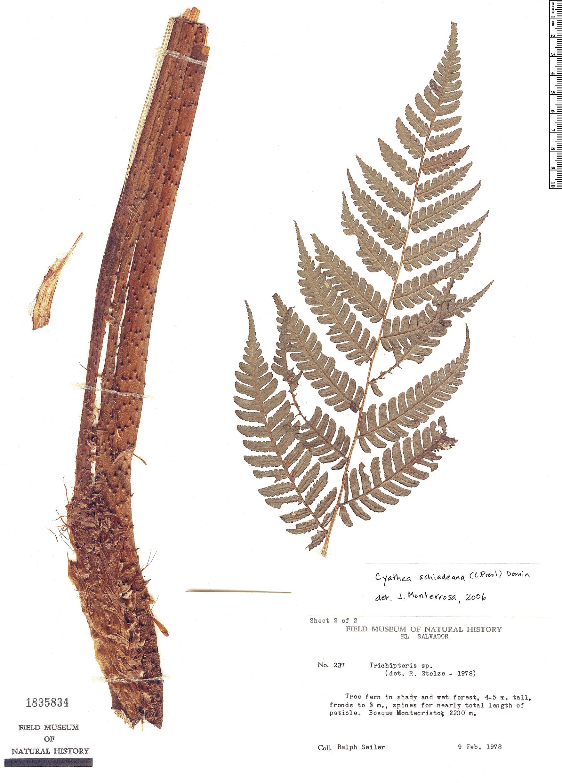 Specimen: Cyathea schiedeana