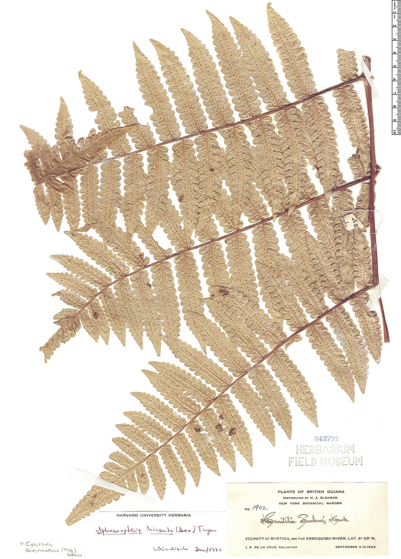 Specimen: Cyathea surinamensis