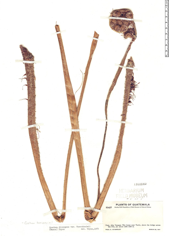 Specimen: Cyathea tuerckheimii