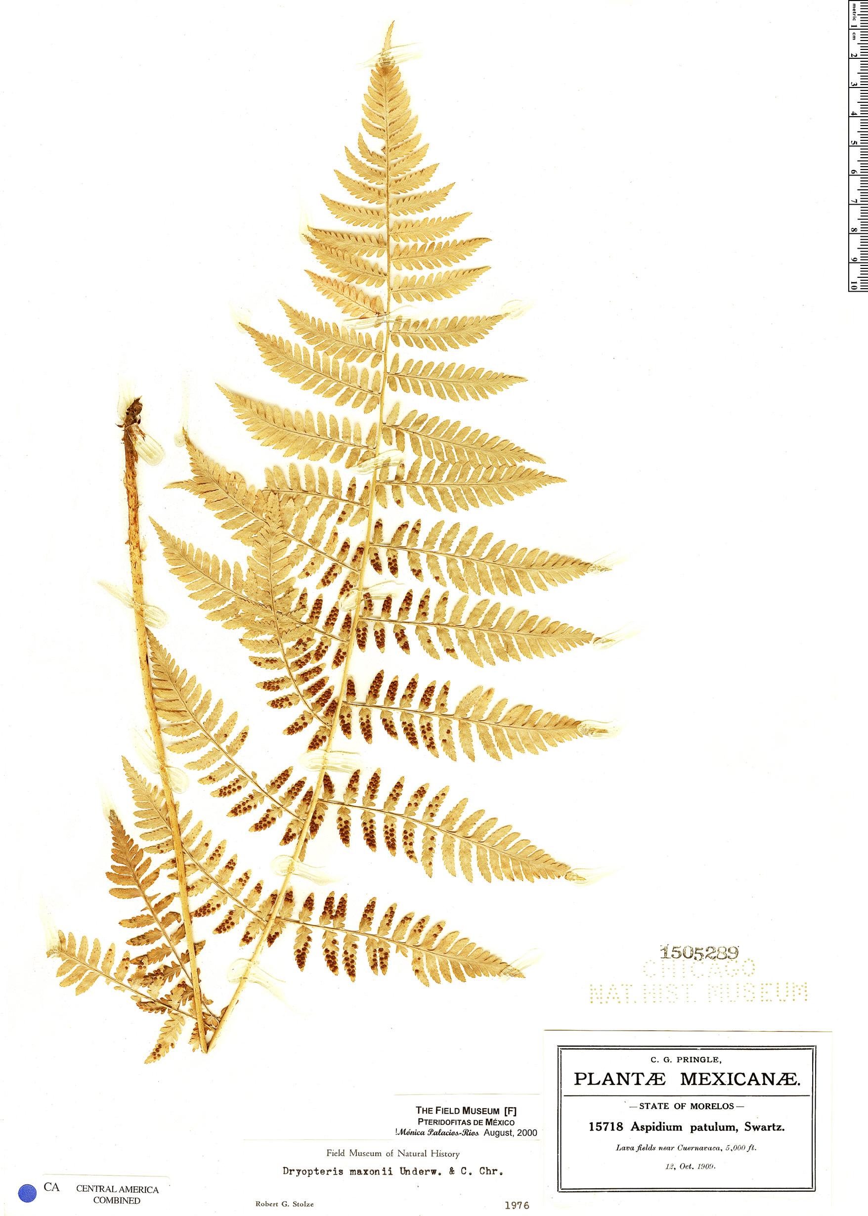 Specimen: Dryopteris maxonii
