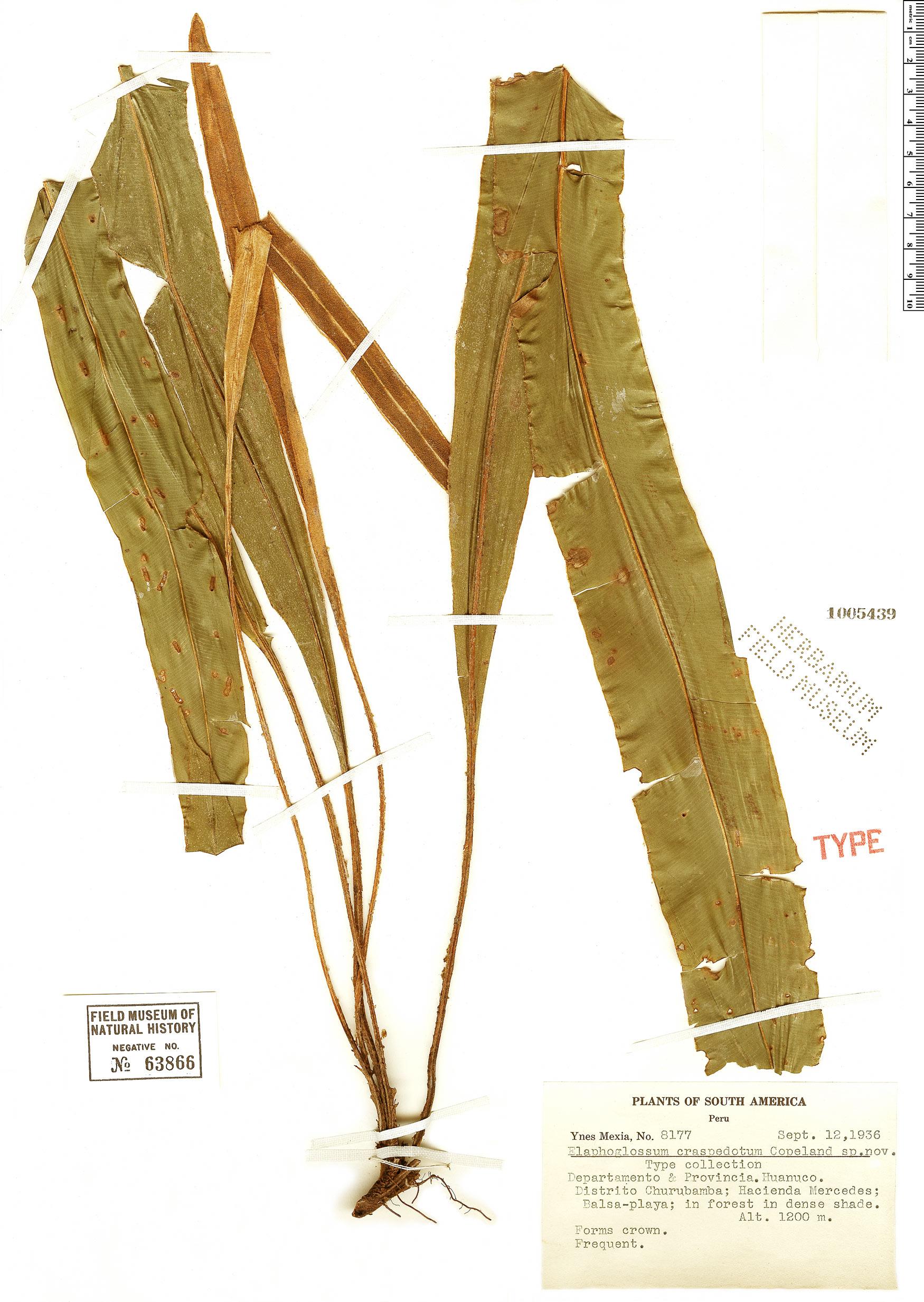 Specimen: Elaphoglossum craspedotum