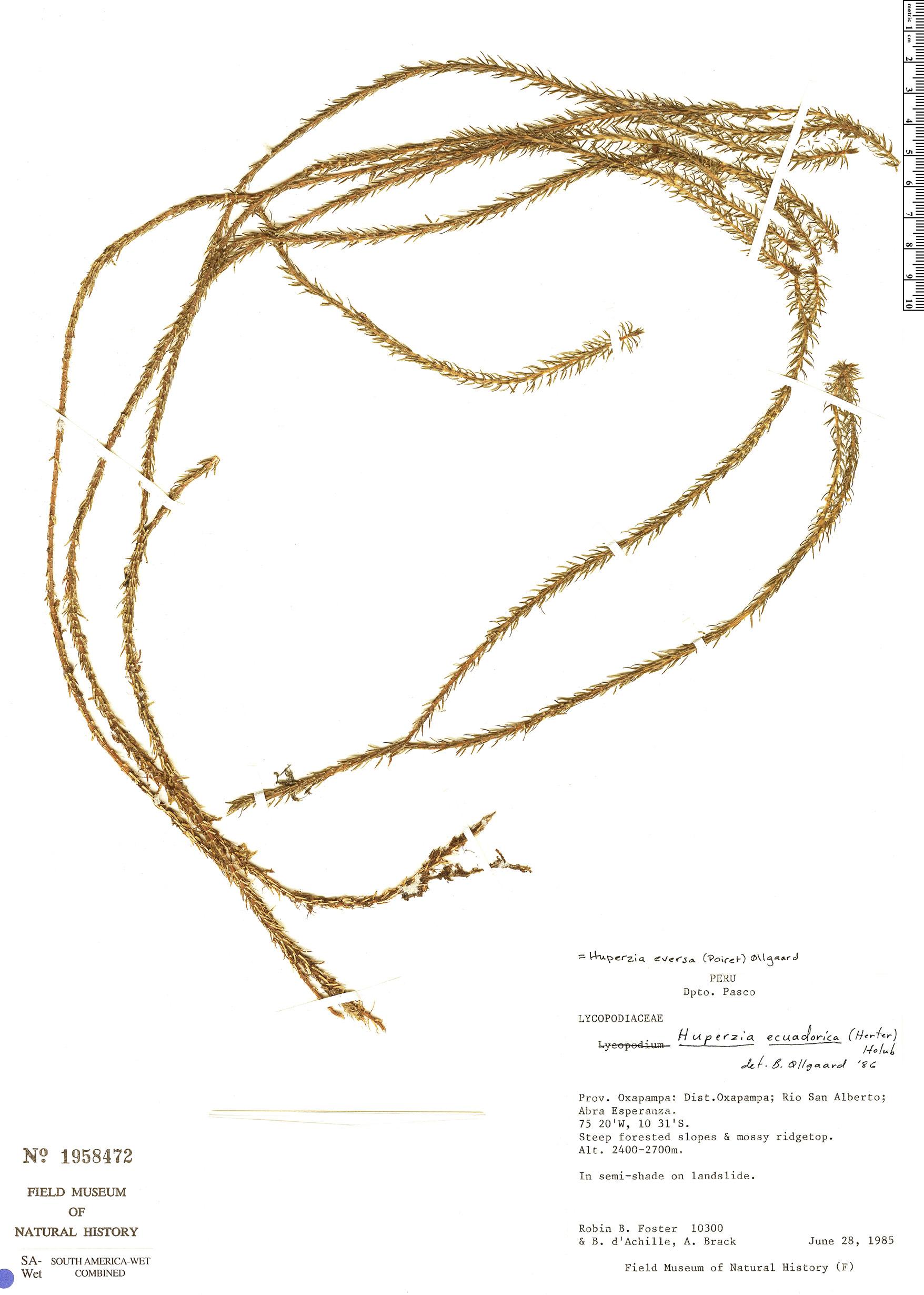 Specimen: Phlegmariurus eversus
