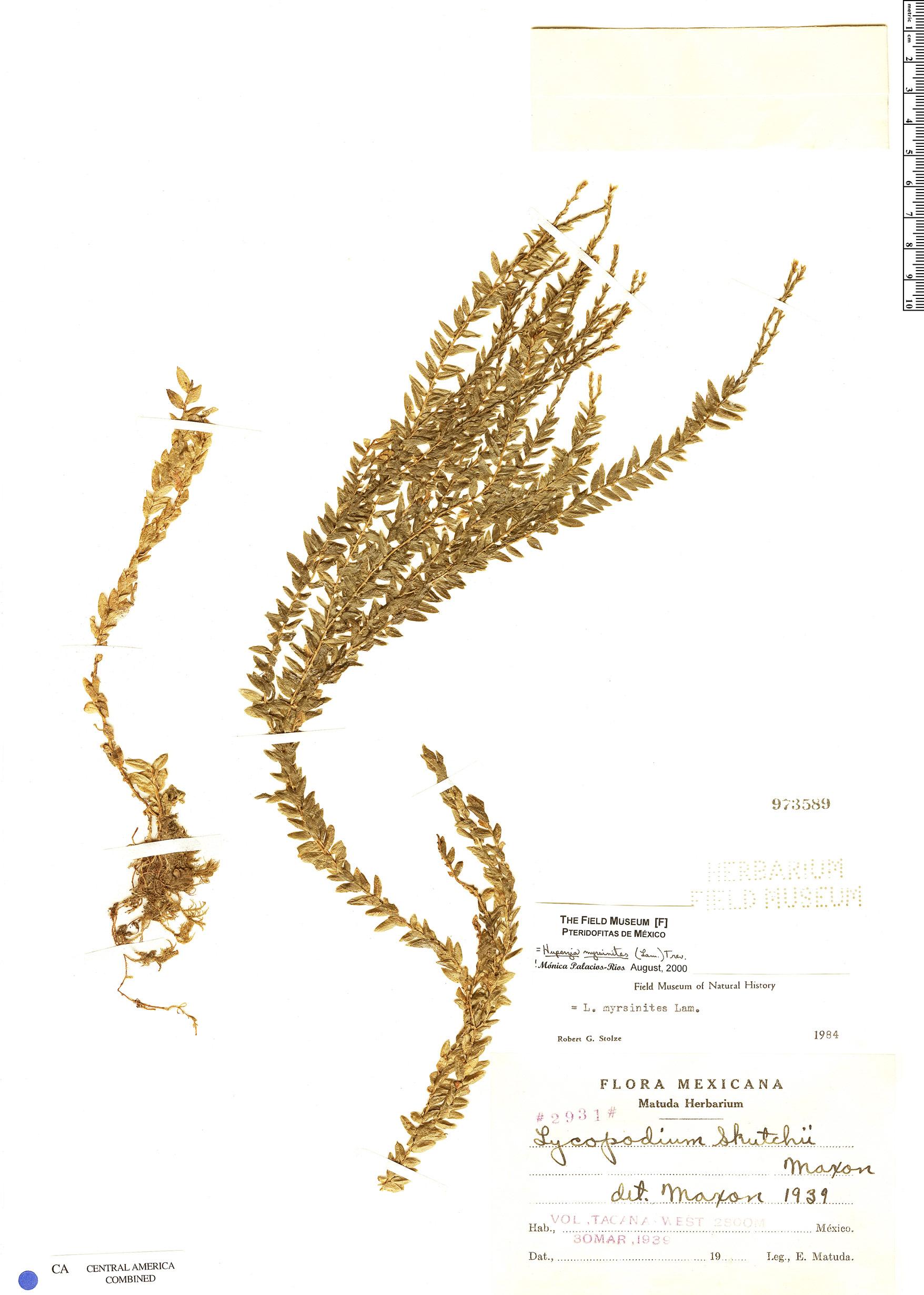 Specimen: Huperzia myrsinites