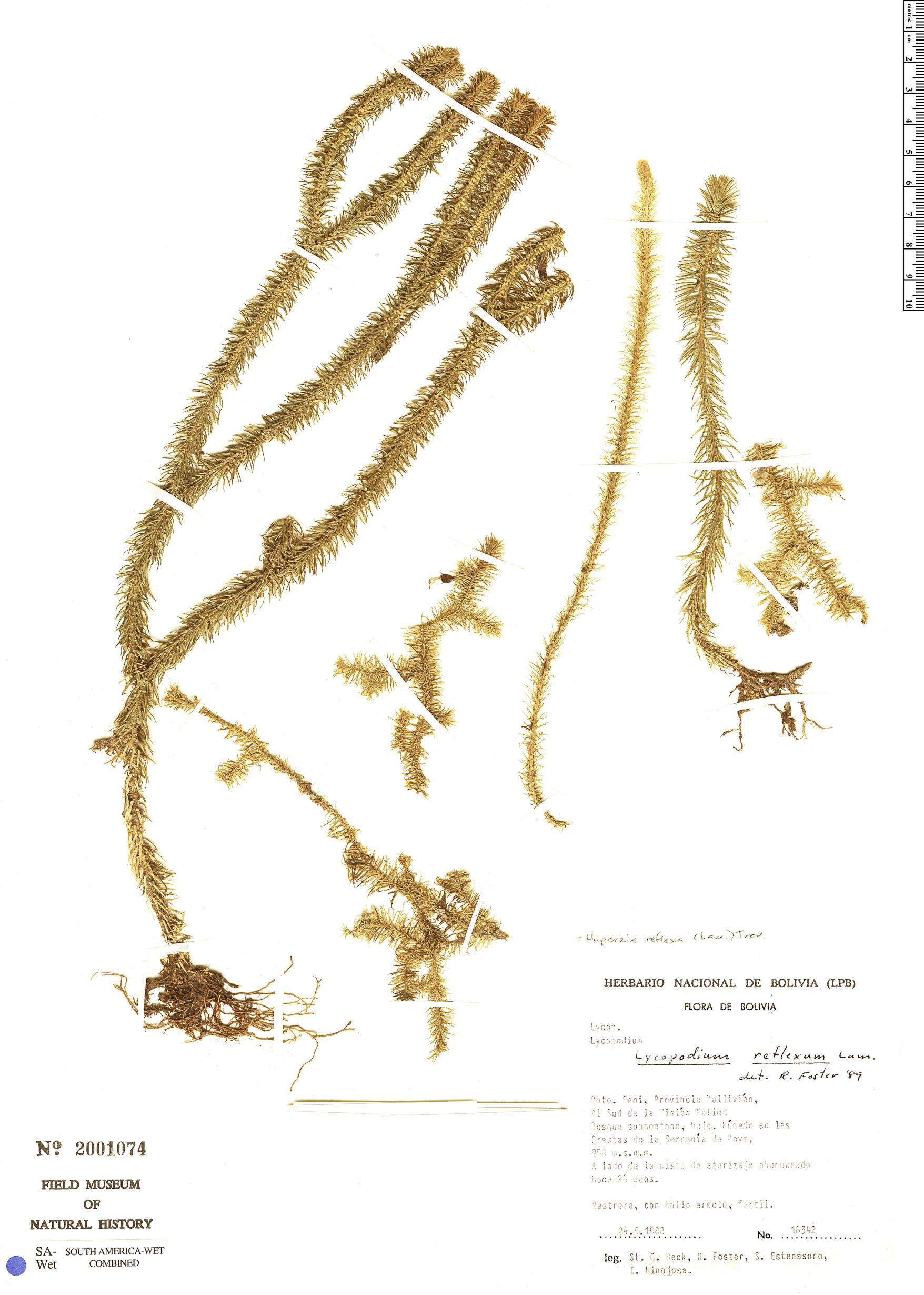 Specimen: Phlegmariurus reflexus