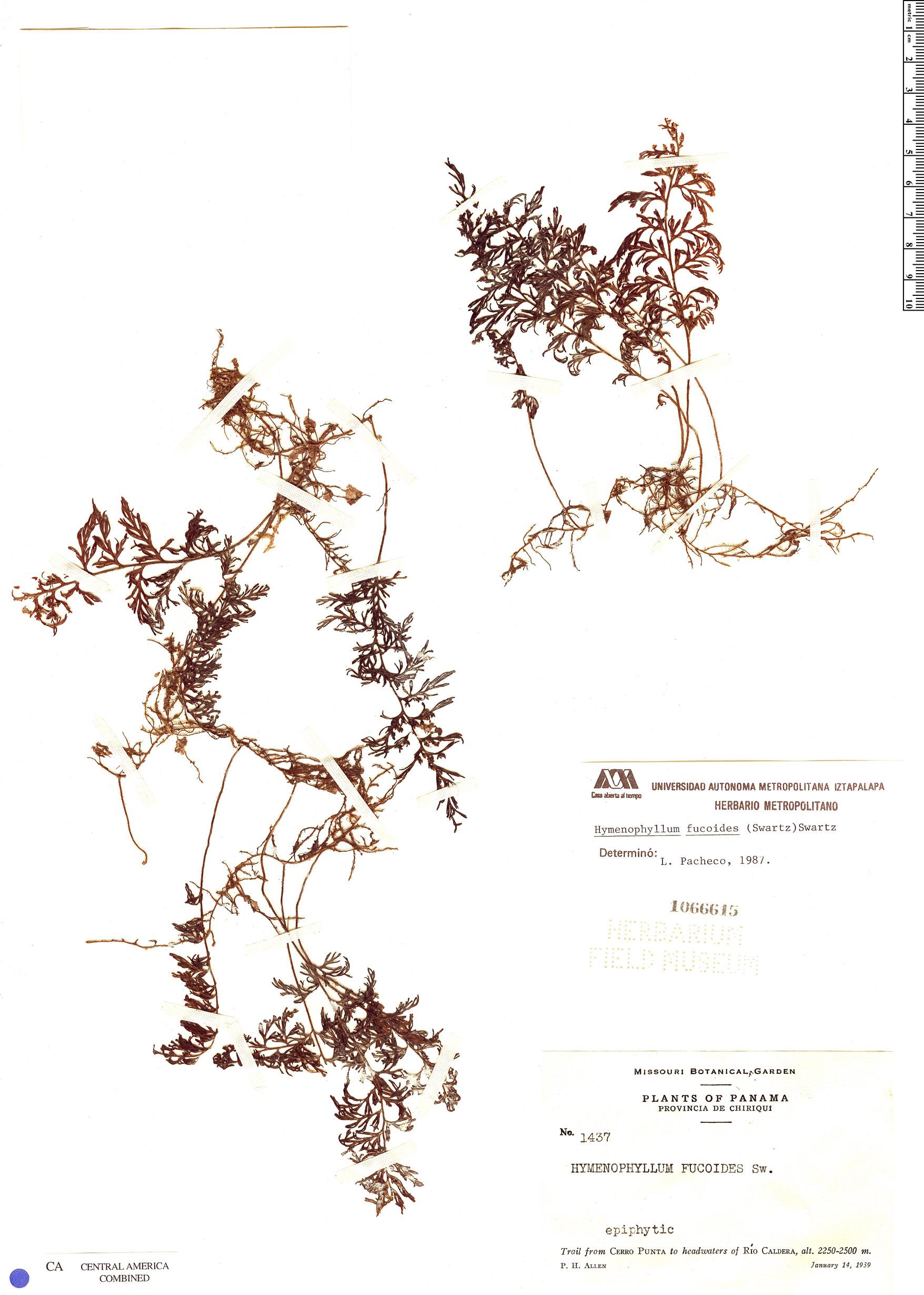 Specimen: Hymenophyllum fucoides