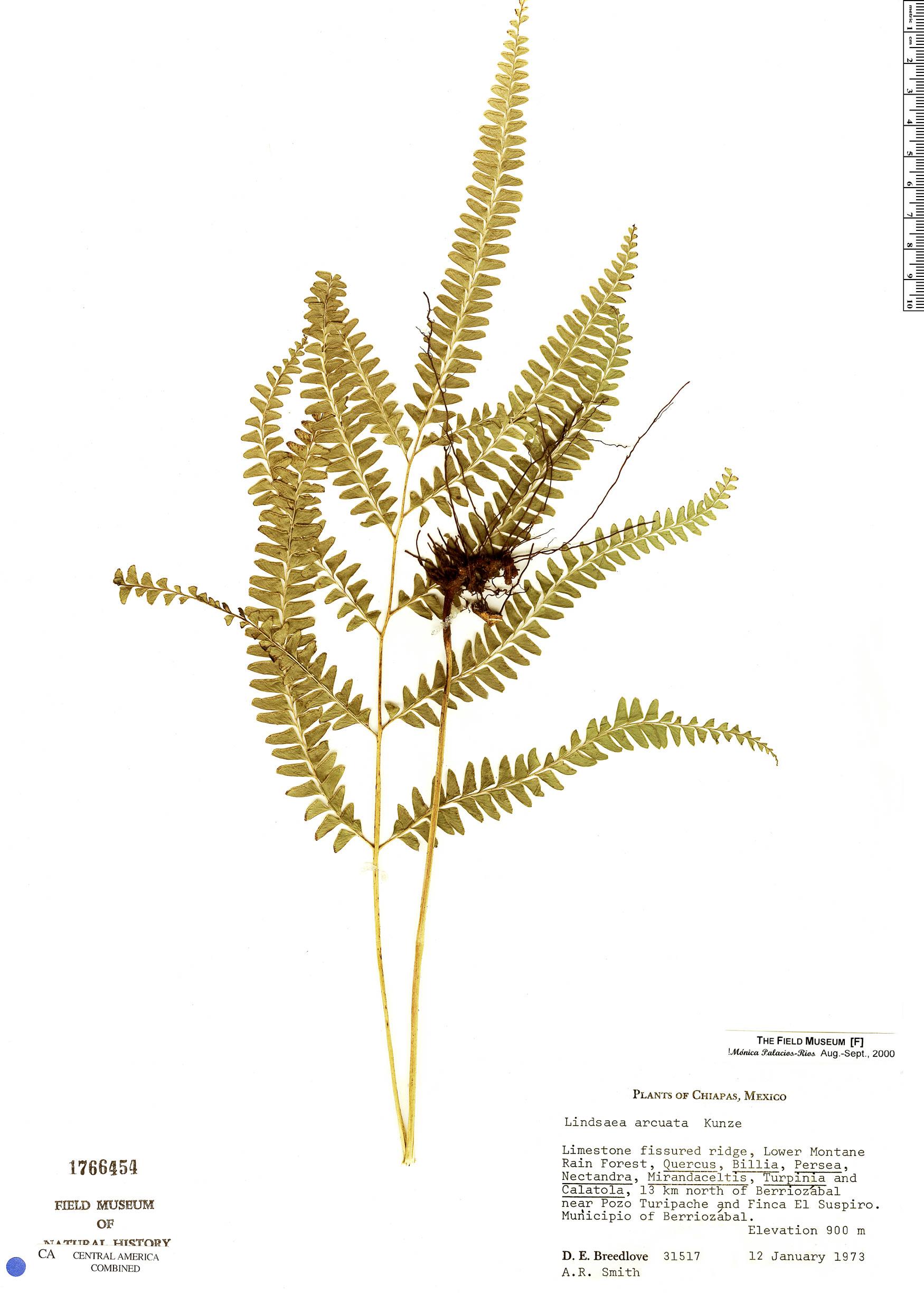 Specimen: Lindsaea arcuata